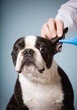 como limpiar orejas perro, cera orejas perro, limpiar orejas peluqueria canina