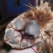 recorte zona plantar, cortar almohadilla perro