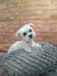 peluqueria canina bichon maltes