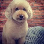 peluqueria canina caniche toy
